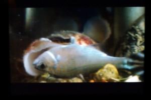 貝が魚を丸飲み!! ビデオです
