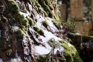木の肌に苔と雪