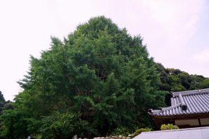 光泉寺の大イチョウ
