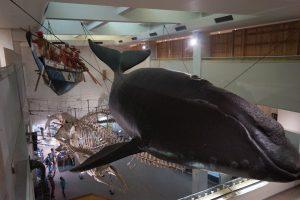 巨大鯨展示(町立くじらの博物館)
