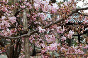 粉河寺境内、これは桜・・・