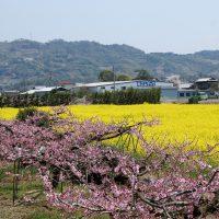 4月上旬、桃色と黄色の絶景