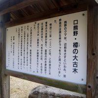 口熊野の大樟