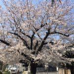 桜みもの・・・??190406