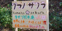古座川、クマノザクラを見に行く旅