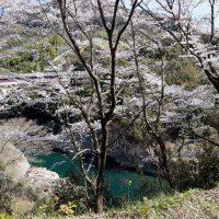 修理川沿いの桜の絶景