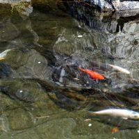 池があり鯉がいる、沢山