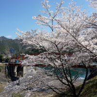 椿山ダム湖と桜