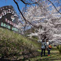 桜絶景、みやまの里