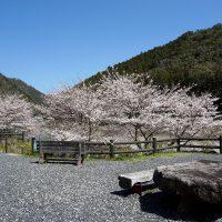 道の駅「龍游」の桜景色