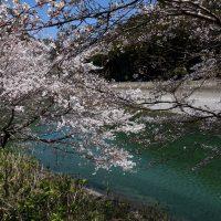 日高川と桜