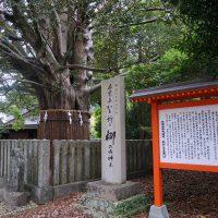熊野速玉大社神木のナギ