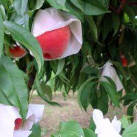 桃が木になっている!