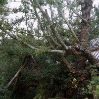 ウバメガシの老樹